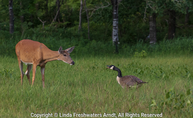 A confrontation between a Canada goose and a white-tailed doe in northern Wisconsin.