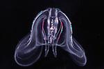 Sea walnut jellyfish side view showing lobes on this ctenaphore
