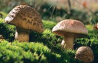 Perlpilz, Rötender Wulstling, Perlen-Wulstling, Amanita rubescens, Blusher, blushing mushroom