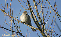 0105-1001  Northern Mockingbird, Mimus polyglottos  © David Kuhn/Dwight Kuhn Photography