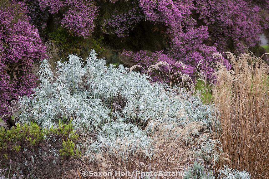 Artemisia arborescens, Tree Wormwood, gray foliage drought tolerant perennial in winter garden border; San Francisco Botanical Garden