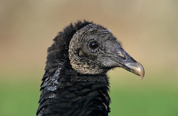 Black Vulture, Coragyps atratus, adult, New Braunfels, Texas, USA