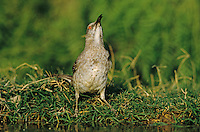 Curve-billed Thrasher, Toxostoma curvirostre, adult drinking, Starr County, Rio Grande Valley, Texas, USA, May 2002