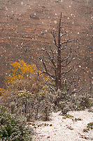 This was a typical early season snowfall, heavy and wet.  A cotton wood tree can still be seen in the background, through the falling snow.