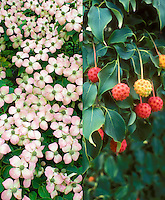 Cornus kousa Korean dogwood in two different phases, in fading flower and fruits, composite picture