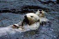 Zeeotter (Enhydra lutris), schelpen openend met steen op zijn buik