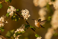 Female Rufous Hummingbird (Selasphorus rufus) nectaring on flowering Currant (Ribes sanguineum).  Western Washington.  April.