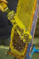 France, Aude (11), Montséret: La Miellerie des Clauses - Désoperculage des rayons //France, Aude, Montseret, Miellerie des Clauses - Uncapping the cells by hand using an uncapping knife