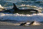 Orca hunts sea lions, Argentina