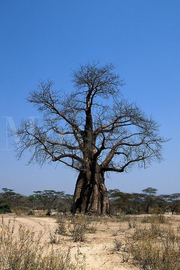 Baobab Tree, Adansonia digitata, Okavango Delta, Botswana, Africa
