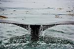 Humpback whale, Icy Strait, Alaska