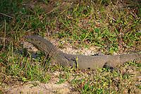 Large monitor Lizards  at Yala National Park, Sri Lanka