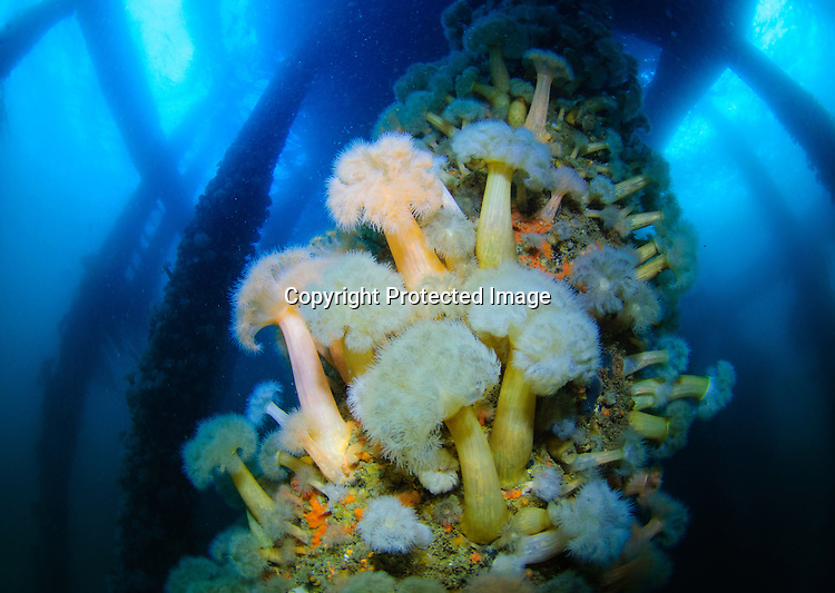 Plumose anemones grow on the pier legs