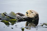 Sea Otter wrapped up in kelp (helps keep otter from drifting with the tide or wind while it rests/sleeps).  Aleutian Islands, Alaska