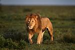 Male lion (Panthera leo) patrolling territory boundary. Woodland on the border of Serengeti / Ngorongoro Conservation Area (NCA) near Ndutu, Tanzania.