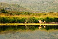 Sika Deer on shore of Lakes of Killarney, Killarney National Park, Ireland