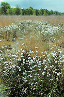 Scheiden-Wollgras, Moor-Wollgras, Scheidiges Wollgras, Schneiden-Wollgras, Eriophorum vaginatum, Hare's-tail Cottongrass, Tussock Cottongrass, Tussock Cotton Grass, Sheathed Cottonsedge