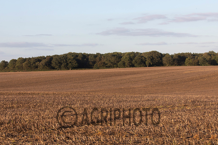 9.9.2020 Bean stubble <br /> ©Tim Scrivener Photographer 07850 303986<br />      ....Covering Agriculture In The UK.
