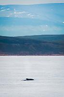 bowhead whale, Balaena mysticetus, surfacing, Isabella Bay, Baffin Island, Nunavut, Canada, Arctic Ocean