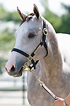September 08, 2014:Hip #249 Tapit - Silver Colors filly, consigned by Gainesway farm.   Silver Colors, is a 2007 born daughter of Kentucky Derby winner Winning Colors.  Keeneland September Yearling Sale.   Candice Chavez/ESW/CSM