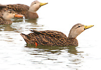 Adult male mottled duck