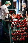 Foto: VidiPhoto<br /> <br /> EST – Zo'n 45 Poolse, Moldavische en Nederlandse werknemers plukken, sorteren en verpakken maandag tienduizenden rode paprika's bij paprikateler Sofinus en Nieki van der Burg uit Est in de Betuwe. De oogst in de 11,5 ha. grote kassen van het bedrijf is in volle gang. Volgens Nieki zijn prijzen en kwaliteit op dit moment goed. Zo'n 95 procent van de produktie (19 miljoen rode en 13 miljoen groene paprika's) gaat naar het buitenland, met name naar Duitsland, de Scandinavische landen en Italië. Telers hebben alleen veel moeite om aan voldoende arbeidskrachten te komen. Met name Poolse arbeidmigranten blijven steeds vaker in eigen land of werken naar Duitsland, waar ze minder sociale lasten hoeven af te dragen.