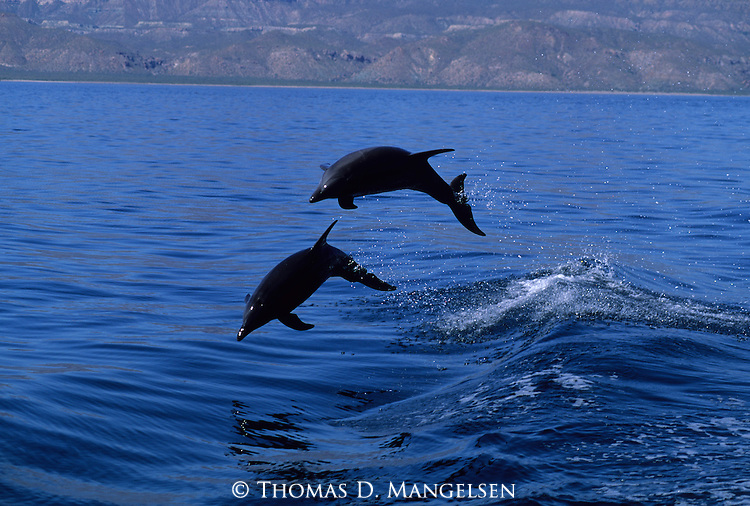 A Pacific bottlenose dolphin pair leap out of the Sea of Cortez in Baja, California.