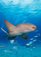 nurse shark, Ginglymostoma cirratum, Bimini, Bahamas, Caribbean Sea, Atlantic Ocean
