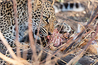 Africa, Zambia, South Luangwa National Park, leopard eating