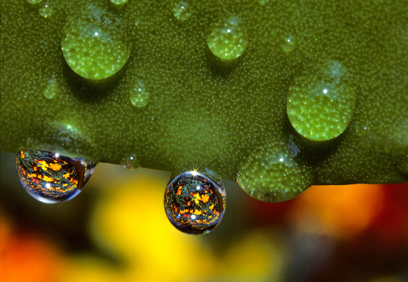Marigolds reflected through water drops. Monroe, Oregon.