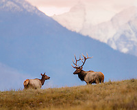 Large Bull Rocky Mountain Elk (Cervus canadensis nelsoni) with cow.  Western U.S., fall.