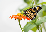 Monarch butterfly getting nectar from a zinnia