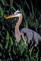 Great Blue Heron (Ardea herodias). Everglades National Park, Florida. USA. Spring.