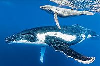 humpback whale, Megaptera novaeangliae, mother and calf, Vavau, Tonga, Pacific Ocean