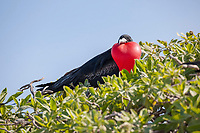 great frigatebird, Fregata minor palmerstoni, male courtship display with inflated throat pouch, Eastern Island, Midway Atoll, Midway National Wildlife Refuge, Papahanaumokuakea National Monument, Northwest Hawaiian Islands ( North Pacific Ocean )