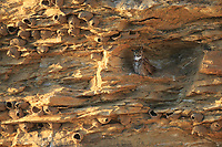 Adult female Great Horned Owl (Bubo virginianus) roosting in a cliff covered in Cliff Swallow nests. Sublette County, Wyoming. June.