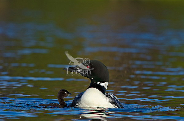 Common Loons--adult with young chick (Gavia immer).  Northern North America, Summer.  Sometimes also called Great Northern Loon or Diver.