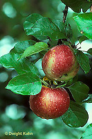 AT10-004z  Apple Tree - fruit, Wolf River variety