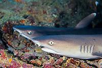 Whitetip reef syark, Triaenodon obesus, Layang Layang Atoll, Sabah, Malaysia off Borneo, South China Sea
