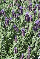 Spanish lavender Lavandula sotechas 'Anouk' in bloom
