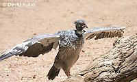 0214-1210  Southern Screamer (Crested Screamer), Chauna torquata  © David Kuhn/Dwight Kuhn Photography