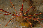Arrow crab with eggs, Stenorhynchus seticornis
