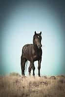 Black Stallion - Utah<br /> Onaqui wild horse
