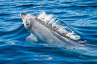 common bottlenose dolphin, Tursiops truncatus, spouting, blowing, San Diego, California, USA, Pacific Ocean