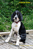 0808-0812  Wet Tricolor English Springer Spaniel Puppy, Canis lupus familiaris © David Kuhn/Dwight Kuhn Photography.