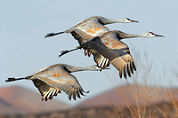 Three greater sandhill cranes flying from roosting pond