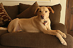 WATERBURY, CT-26 December 2013-122613LW02 - 6-year-old yellow Labrador / Greyhound mix Max relaxes in his Waterbury home. Max went missing for two weeks in August after he was hit by a car, but was reunited with his family. <br /> Laraine Weschler Republican-American