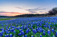 Sunset Over the Bluebonnets  - Another capture of the field of bluebonnets after sunset and brought up these nice colors of pinks and orange in the sky at twilight. We had moved to a different site when the colors from the earlier sunset appeared in the sky.  We had been photographing nearby when we saw the colors and turn our camera that way where the road curved around the bend at the lake.  The Texas hill country dry river bed came back to life this year after the waters went down along the colorado river and this field of bluebonnets popped up.  It was delightful to see the field of wildflowers again not as much as the first time but still wonderful.  We capture this wonderful field of wildflowers just as the sunset colors appear over the trees tops with enough light left for the the flowers.   Spring time in the Texas hill country can be magical when fields of wildflowers appear in great numbers.  We live not far from here so we came here several times till word got out and the bluebonnet got trampled down. The texas hill country has been one of the best places to capture pictures of bluebonnets landscapes in the past and we can only hope forever. Taking pictures of bluebonnets is one of our favorite things to capture. There are many varieties of bluebonnets in Texas from the chiso bluebonnet, to the sandyland and of course the Lupinus texensis lupine,  has been the state flower since the 1901 and all other bluebonnets were included in 1971 by the Texas Legislature which made all lupines in the state the state flower.  For most the most popular is the Lupinus texensis or texas bluebonnet which are here in the hill country which are known for the white top which is said to look like a bonnet.  <br /> <br /> Buy Photos by BeeCreekPhotography, Fine Art,  Buy Art Online. Wall Art. Bluebonnet Landscapes, Flowers and more...