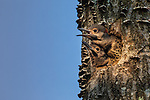 Northern flicker nestlings  in northern Wisconsin.