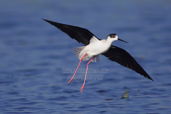 Black-winged Stilt, Himantopus himantopus, adult in flight, National Park Lake Neusiedl, Burgenland, Austria, Europe